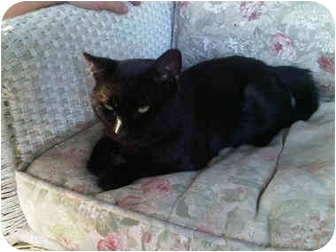 Domestic Shorthair Cat for adoption in Bayonne, New Jersey - Spooky