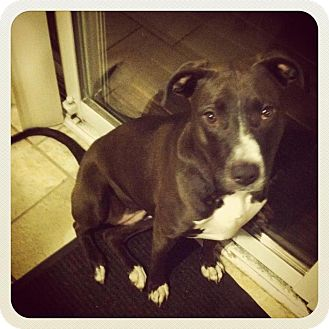 American Pit Bull Terrier/Labrador Retriever Mix Dog for adoption in Clay, New York - Misty