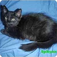 Adopt A Pet :: Sphynx - Milwaukee, WI