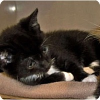 Adopt A Pet :: Whiskers - Secaucus, NJ