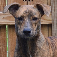 Greyhound/Labrador Retriever Mix Dog for adoption in Lake Pansoffkee, Florida - Gabi