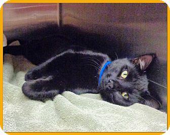 Domestic Shorthair Cat for adoption in Marietta, Georgia - OLIVER