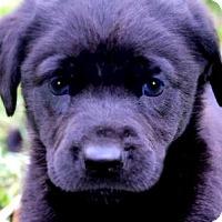 Adopt A Pet :: EVAN(THE SWEETEST LAB PUPPY! - Wakefield, RI