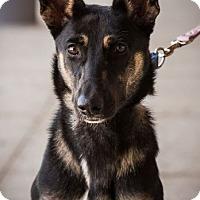 Adopt A Pet :: Harley Q - Hillside, IL
