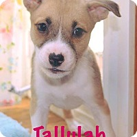 Pit Bull Terrier Mix Puppy for adoption in Durham, North Carolina - Tallulah