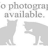 Adopt A Pet :: CHIBA - Hampton, VA