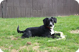 Hound (Unknown Type)/Labrador Retriever Mix Dog for adoption in Sparta, New Jersey - Jasper