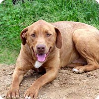 Labrador Retriever/Weimaraner Mix Dog for adoption in Norfolk, Virginia - BILLY RAY