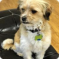 Adopt A Pet :: Kilo - Las Vegas, NV