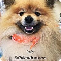 Adopt A Pet :: Sailor - Studio City, CA