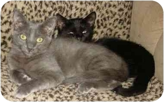 Russian Blue Kitten for adoption in Mission Viejo, California - Speedracer