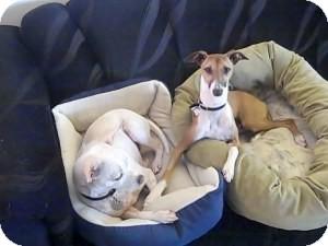 Italian Greyhound Dog for adoption in Costa Mesa, California - Milano