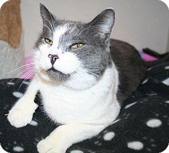 Domestic Shorthair Cat for adoption in Edmonton, Alberta - Jarrod