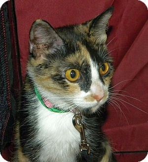 Calico Cat for adoption in Green Bay, Wisconsin - Paris