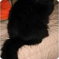 Adopt A Pet :: Midnight DECLAW - Cincinnati, OH