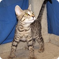Adopt A Pet :: K-Hirsch5-Catsanova - Colorado Springs, CO