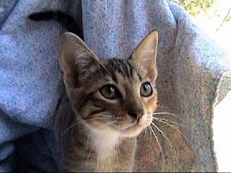 Domestic Shorthair Cat for adoption in Tyler, Texas - A-Kitten #5 (runt)