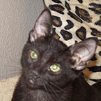 Domestic Shorthair Cat for adoption in Scottsdale, Arizona - Sky