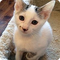 Adopt A Pet :: Pebbles - Irvine, CA