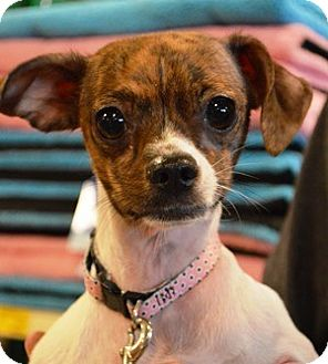 Chihuahua Mix Dog for adoption in Toledo, Ohio - Lucy