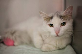 Turkish Van Cat for adoption in Bartlett, Illinois - Elmyra