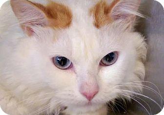 Domestic Longhair Cat for adoption in Alamogordo, New Mexico - Duke