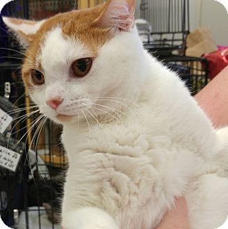 Domestic Shorthair Cat for adoption in Great Mills, Maryland - Sven