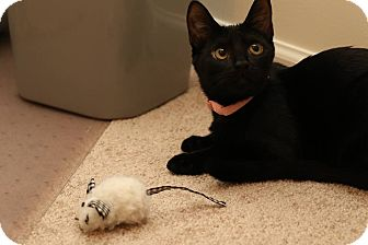 Domestic Shorthair Kitten for adoption in Middletown, Ohio - Rachel