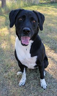 Labrador Retriever Mix Dog for adoption in Tucson, Arizona - Bella