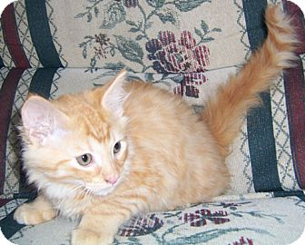 Maine Coon Kitten for adoption in Gray, Tennessee - Damian