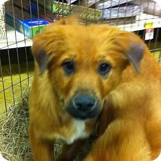 Shepherd (Unknown Type) Mix Puppy for adoption in Gainesville, Florida - Wendi