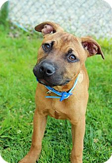 Boxer Mix Puppy for adoption in Tinton Falls, New Jersey - Sequin