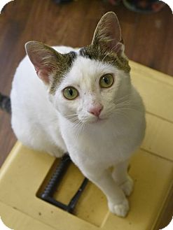 Domestic Shorthair Cat for adoption in Nashville, Tennessee - Mickey