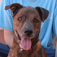 Dutch Shepherd Mix Dog for adoption in Las Vegas, Nevada - Paulie