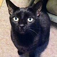 Domestic Shorthair Cat for adoption in Tustin, California - Ebony