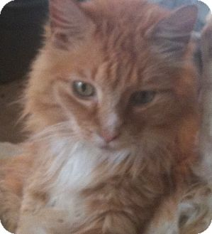 Maine Coon Cat for adoption in Memphis, Tennessee - Franklin