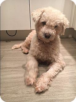 Poodle (Miniature)/Maltese Mix Dog for adoption in Ocean Ridge, Florida - Lamb