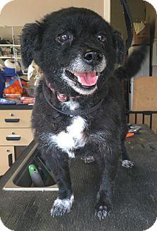 Pomeranian Mix Dog for adoption in Mooresville, North Carolina - Socks