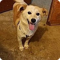 Shiba Inu/Labrador Retriever Mix Dog for adoption in Oakton, Virginia - Snowy