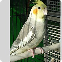 Cockatiel for adoption in East Hartland, Connecticut - Goodwill