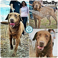 Adopt A Pet :: Shelly - Kimberton, PA
