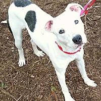 Pointer/Terrier (Unknown Type, Medium) Mix Puppy for adoption in Dana Point, California - Blanca