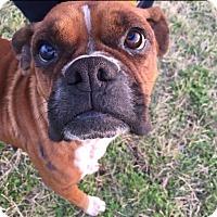 Adopt A Pet :: Classica - Austin, TX