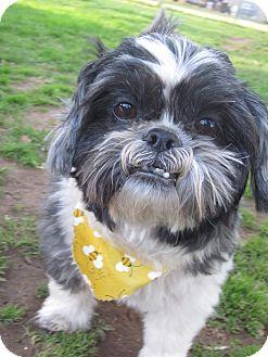 Shih Tzu Mix Dog for adoption in Albany, New York - Sammy