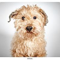 Adopt A Pet :: Herschel - New York, NY