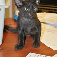 Domestic Shorthair Kitten for adoption in Pompano Beach, Florida - Jack