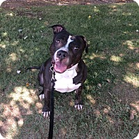 American Pit Bull Terrier Mix Dog for adoption in Lodi, California - Cappy