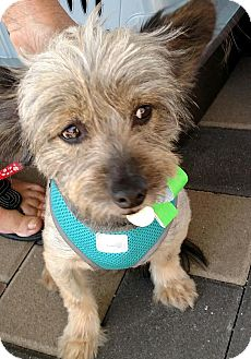 Yorkie, Yorkshire Terrier Mix Dog for adoption in San Diego, California - King Arthur