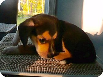 Beagle Mix Puppy for adoption in Portsmouth, New Hampshire - Big Biskit-ADOPTION PENDING