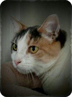 Domestic Shorthair Cat for adoption in Pueblo West, Colorado - Gwyneth